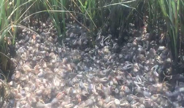A horde of thousands of tiny fiddler crabs formed a massive crab army near an estuary in Massachusetts.  Screen capture/Wareham Department of Natural Resources/Facebook