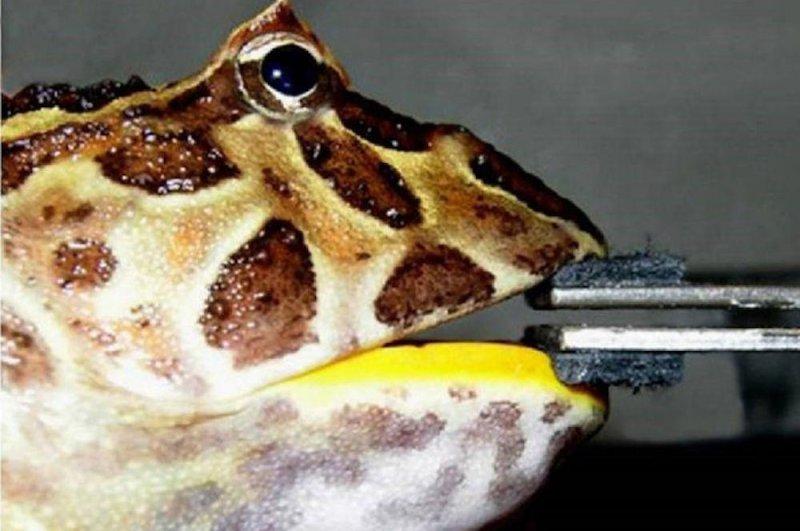 Scientists claim extinct 'Pac-man' frog was dinosaur killer