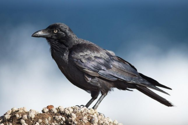 Some birds, like ravens, evolved their big brains only recently. Photo by JJ Harrison/Wikimedia Commons