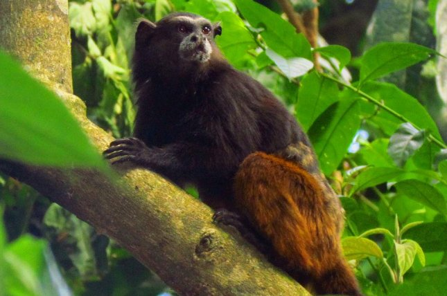 A brown-mantled Tamarin (Saguinus fuscicollis) seen in Peru's Tambopata Park. Photo by D. Gordon E. Robertson/CC
