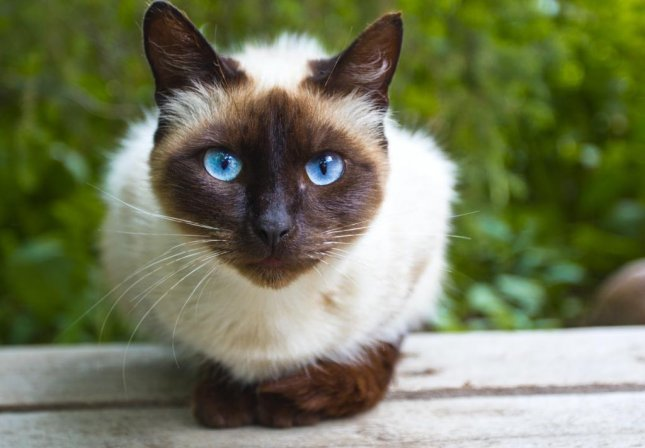 A Siamese cat named Cupcake, similar to the pictured, survived a 260-mile journey through the mail after her owner accidentally packed her in a box of DVDs and shipped it. Photo by chromatos/Shutterstock