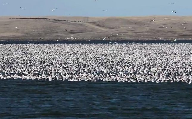 Photographer Rick Bohn captured footage of a flock containing millions of migrating snow geese on a lake in North Dakota. Bohn said it took 15 photos to capture the flock, which was about a mile long and several hundred yards wide. Photo by Rick Bohn/U.S. Fish and Wildlife Service, Mountain-Prairie Region/Facebook