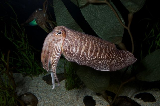 The European Cuttlefish can pick up on food availability patterns and adjust their feeding behavior accordingly. Photo by Brian Gratwicke/Flickr