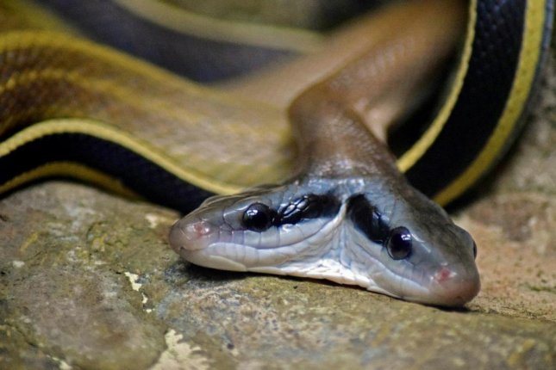 Jeannie Wilson of Alexander County, N.C., found a two-headed snake inside of her home. Photo byvieleineinerhuelle/Pixabay.com