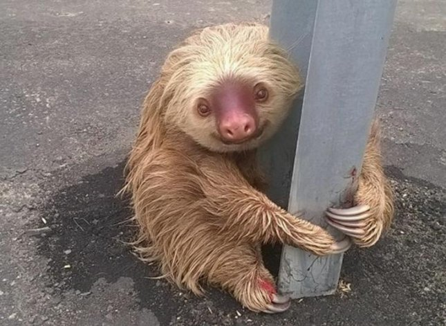 A sloth rescued from the side of a highway by transit police in Ecuador. Photo courtesy of the Ecuador Transit Commission/Facebook