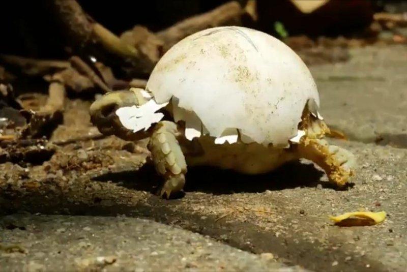 Fashion-forward newborn tortoise goes egg shell chic