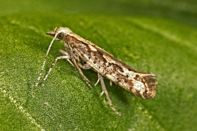 Every year, the diamondback moth, sometimes called the cabbage moth, does billions of dollars in crop damage. Photo by David McClenaghan/CSIRO