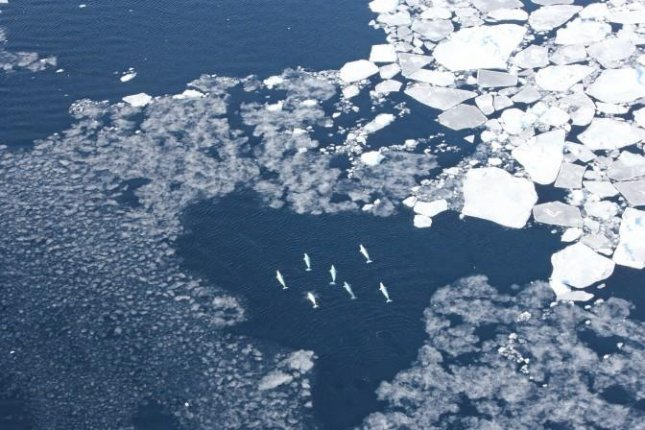 A pod of beluga whales is seen swimming near West Greenland sea ice. Photo by Kristin Laidre/University of Washington