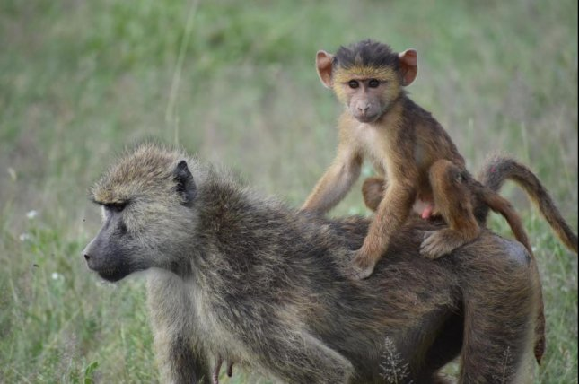 The offspring of baboons who experienced hardships during childhood have shorter lifespans than their peers. Photo by Chelsea Weibel/University of Notre Dame