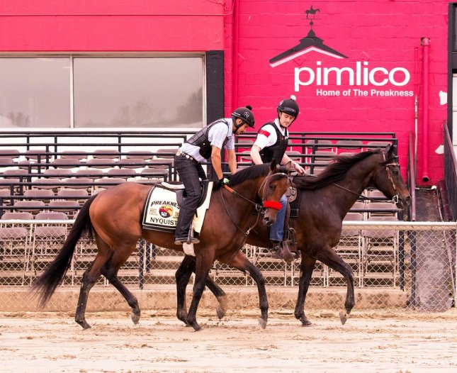 Kentucky Derby winner Nyquist stretches his legs Thursday at Pimlico, where he will contest the Preakness Stakes on May 21. Photo courtesy Pimlico