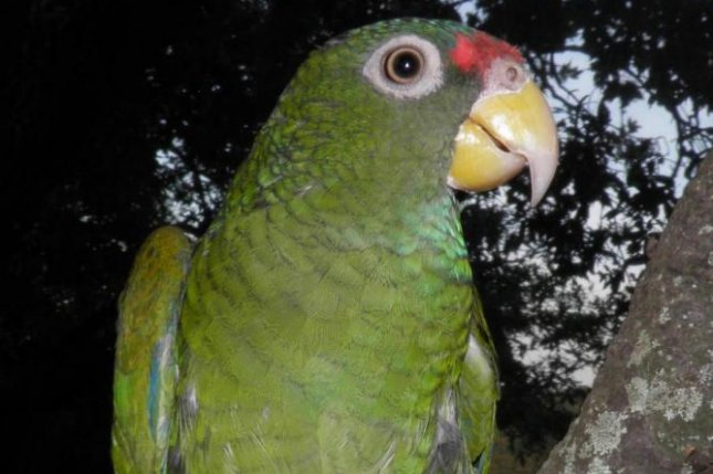 ornithologists identify new parrot species in mexico upi com