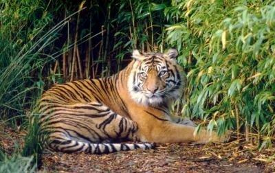 Sumatran tigers need low-level vegetation - UPI.com