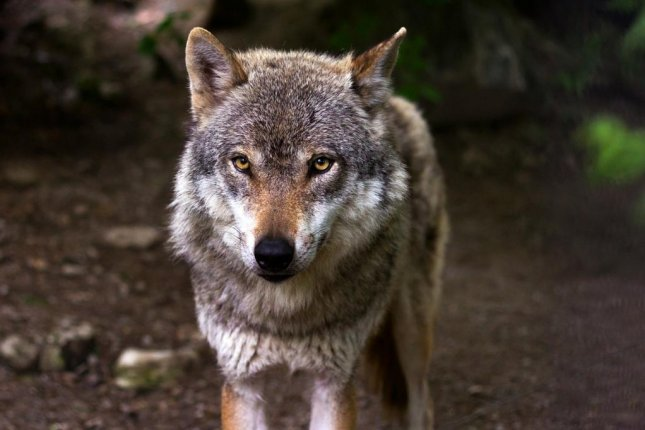 A wolf, not the same wolf pictured here, escaped from theMahendra Chaudhry Zoological Park in India and was recaptured in a nearby wooded area about 13 hours later. Photo byraincarnation40/Pixabay.com