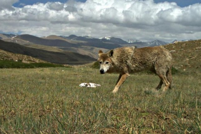 New research suggests the Himalayan Wolf is uniquely adapted to life at high altitudes. Photo by Geraldine Werhahn