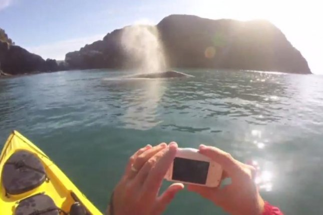 A gray whale surfaces close to a kayak tour group in Oregon. Screenshot: Storyful