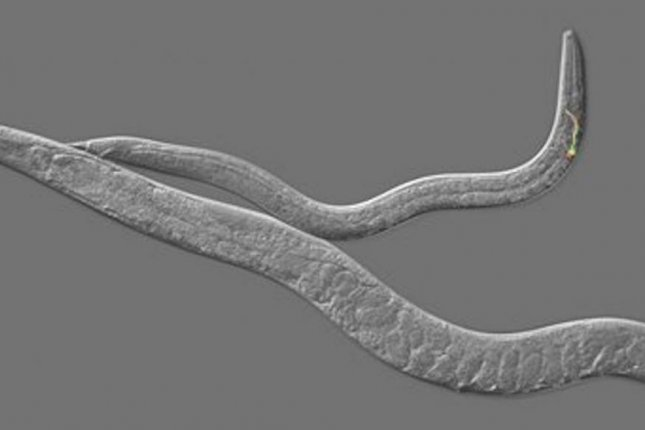 Roundworms are regularly used as a model for understanding more complex biological systems -- like the genetic mechanisms behind the timing of puberty in humans. Photo by University of Rochester