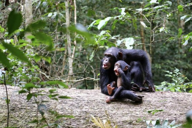 Young chimpanzees continue to spend time with and learn from their mothers even after they able to feed themselves on their own. Photo by Liran Samuni/MPG