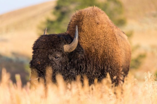A female visitor was injured Wednesday by a bison at Yellowstone National Park after getting too close to the animal, according the National Park Service. Photo by Neal Herbert/NPS