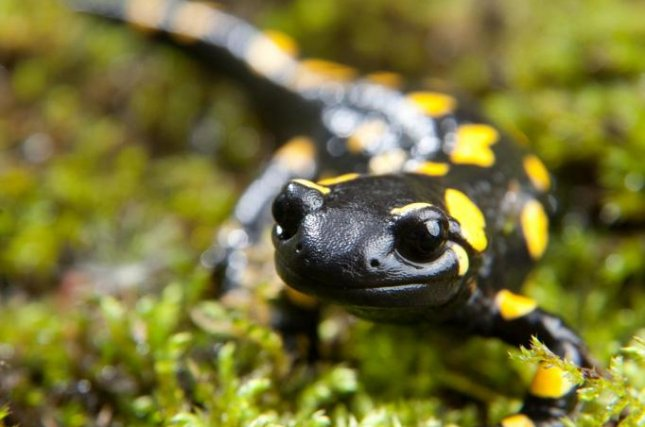 Fire salamanders had no problems remembering how to navigate a maze after awaking from a 100-day hibernation period. Photo by Johannes Hloch/University of Lincoln