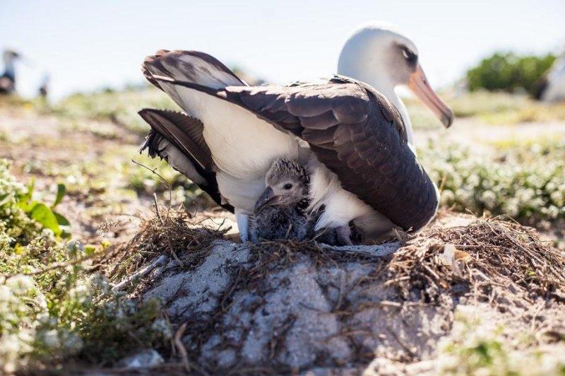 Wisdom, the 65-year-old Laysan albatross, with her newborn chick Kukini. Photo by Kaipo/Paliku Productions/FWS