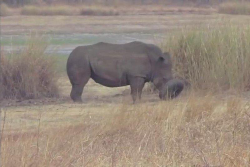 A rhinoceros named Mark got his snout stuck inside a car tire at Zimbabwe's Lake Chivero Recreational Park. Screenshot: Storyful