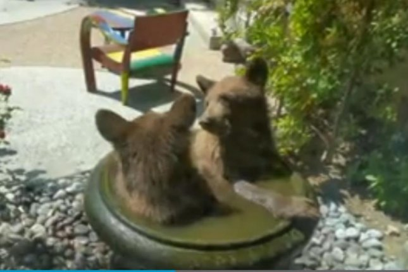 Bear cubs take a dip in a water-filled backyard planter in Pasadena, Calif. Screenshot: KTLA-TV