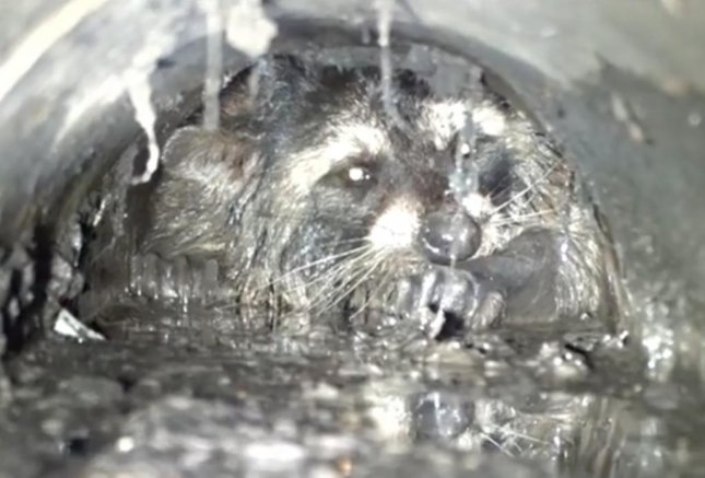 A raccoon was rescued from a pipe underneath a market in California after a 20-hour rescue mission. The rescue effort required several forms of equipment and multiple volunteers, but ultimately ended with the raccoon being pulled to freedom alive. 