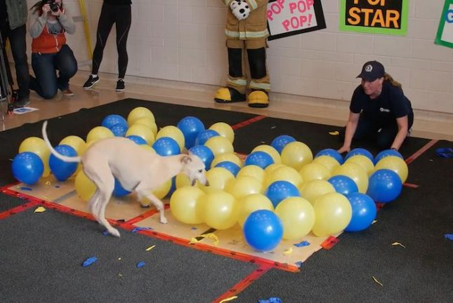 Toby, a purebred whippet from Canada, set a new Guinness World Record by popping 100 balloons in 36.53 seconds. Screen capture/Guinness World Records/YouTube