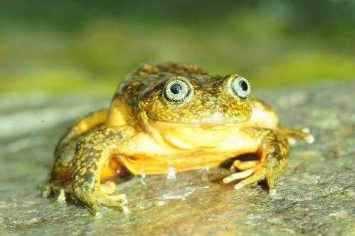 A Telmatobius ventriflavum specimen. Photo courtesy Pensoft/ZooKeys