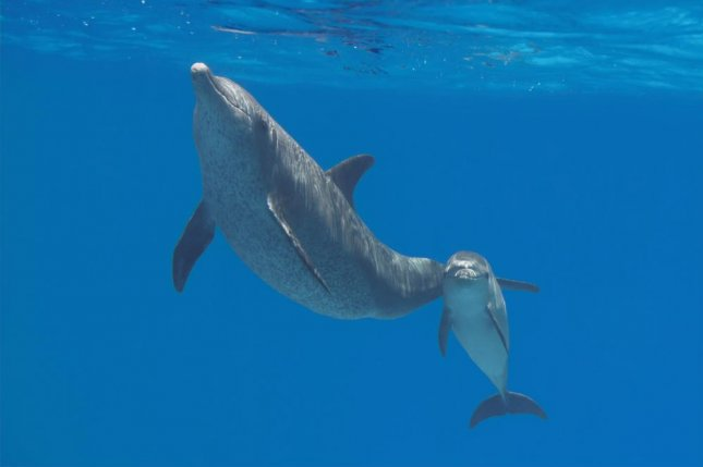 A mother and baby dolphin swim in the waters of their habitat, which is required to regulate the marine mammals' body temperatures. Photo by Vkilikov/Shutterstock