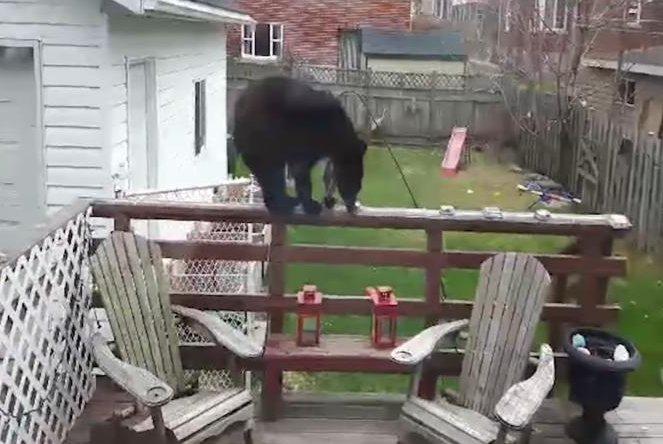 A bear helps itself to some bird seed on a Sudbury, Ontario, family's back porch. Screenshot: Sudbury.com/YouTube
