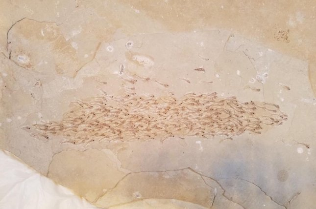 The 259 fossilized fish embedded in a 50-million-year-old stone represent the oldest known evidence of schooling behavior. Photo by Mizumoto et al./Proceedings of the Royal Society B
