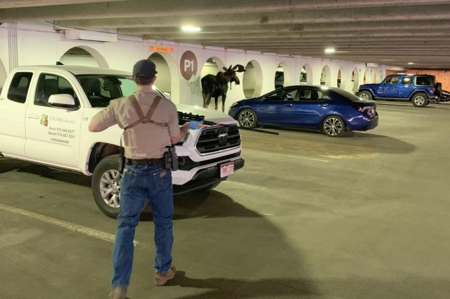 Colorado Parks and Wildlife officers were summoned to a parking garage in Vail to remove a bull moose that had been making repeated visits to the area. Photo courtesy of Colorado Parks and Wildlife