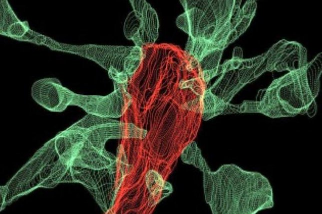 An image captured using focused ion beam scanning electron microscopy shows the tiny fingers of several synapses, called filopodia, interacting with a single microglia, pictured in red. Photo by L. Weinhard/EMBL Rome