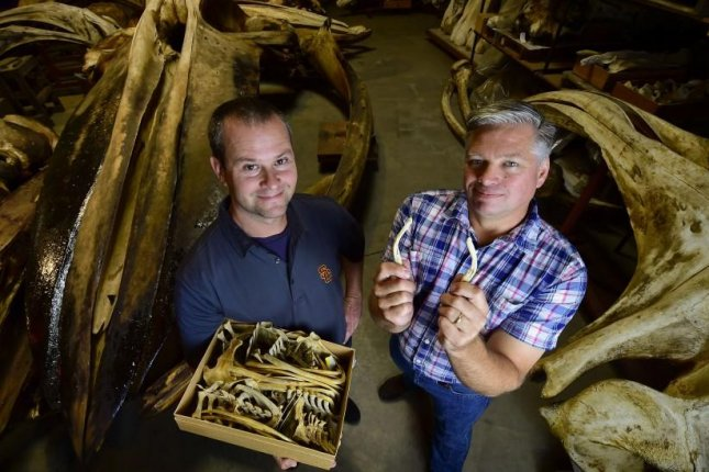 Matthew Dean, pictured on the left, and Jim Dines searched through more than 10,000 boxes of unsorted whale and dolphin fossils in search of pelvic bones. (USC Photo/Gus Ruelas)