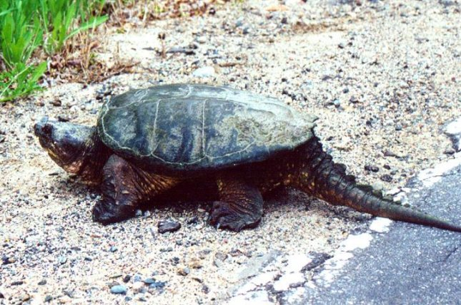 A snapping turtle crosses the road. (CC/MisterSquirrel)