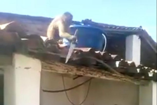 A monkey in Brazil drank a glass of rum in a bar and stole a kitchen knife he used to chase men. Screenshot: Jozivan Antero/YouTube