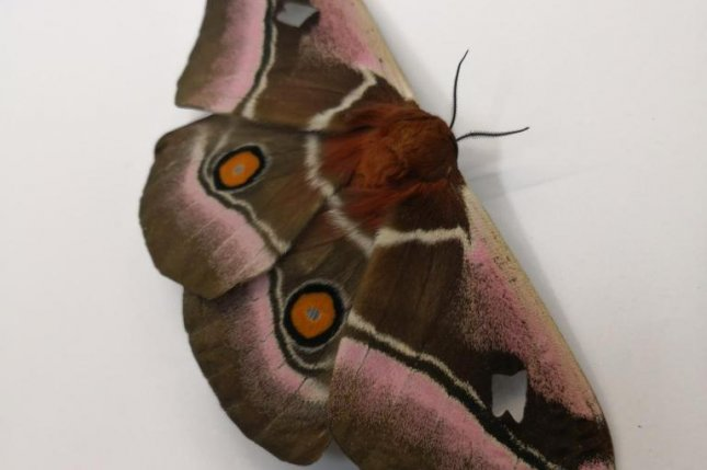 Fur on the thorax and wing joints of two deaf moth species absorbs ultrasound, working like acoustic camouflage that helps the insects evade hunting bats. Photo by Thomas Neil