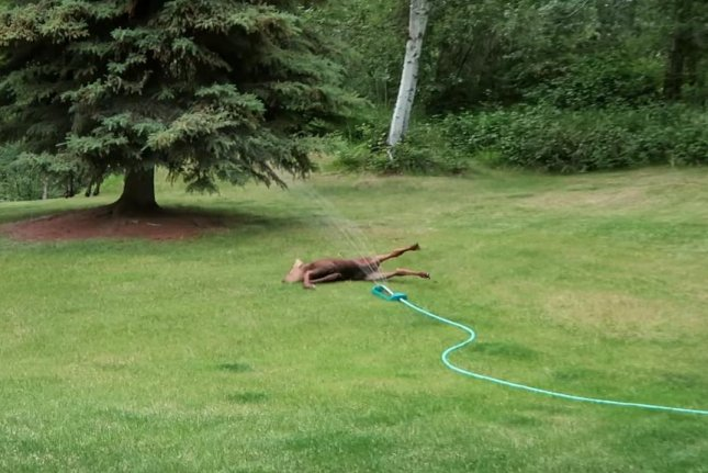 A baby moose slides through an Anchorage couple's sprinkler. Screenshot: DudeLikeHella/YouTube