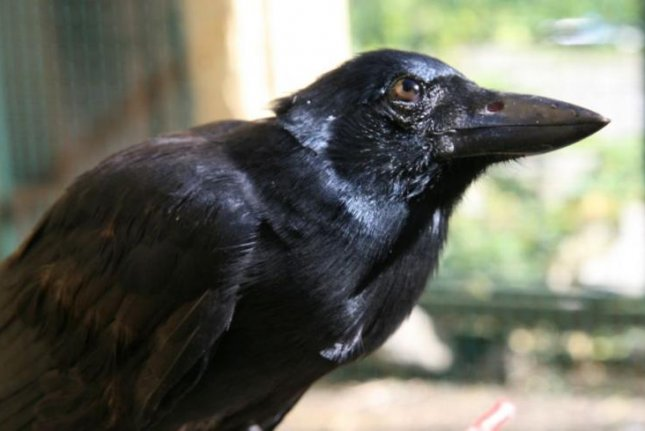 Experiments showed New Caledonian crows can solve puzzles by building and using compound tools. Photo by University of Oxford