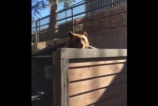A dumpster diving bear's meal is interrupted in Colorado. Screenshot: JukinMedia