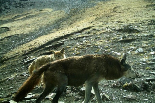 Two Himalayan wolves are seen roaming the mountains of Nepal. Photo by Madhu Chetri/Pensoft Publishers