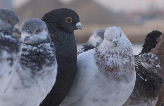 Artist Duke Riley will release 2,000 specially trained pigeons fitted with LED lights over New York's East River on weekends from May 7-June 12. His public art exhibit Fly By Night is meant to pay homage to pigeon keeping by illuminating the night sky with a spectacle resembling a comet or a shooting star. Screen capture/Creative Time/Vimeo