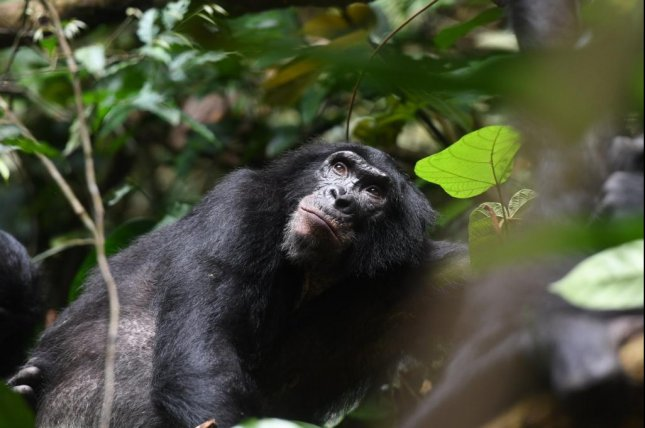 New research showed bonobo moms help their sons gain mating opportunities, improving the odds of mom's genes being passed to the next generation. Photo by Martin Surbeck/Kokolopori Bonobo Research