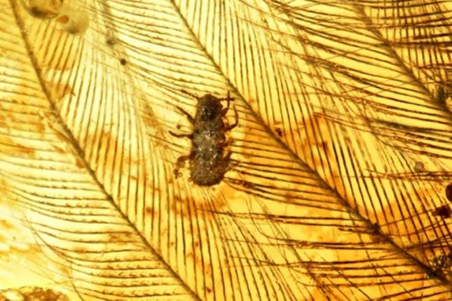 Scientists found several tiny feather-eating lice trapped in ancient amber fossils. Photo by Taiping Gao