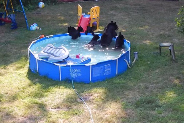 A mama bear and her five cubs lounge in the Basso family's backyard pool in New Jersey. Tim Basso/YouTube video screenshot