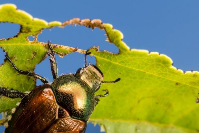 Insects like Japanese beetles are more likely to thrive in monoculture fields than those rich in biodiversity. Photo by Bill Ravlin/Michigan State University