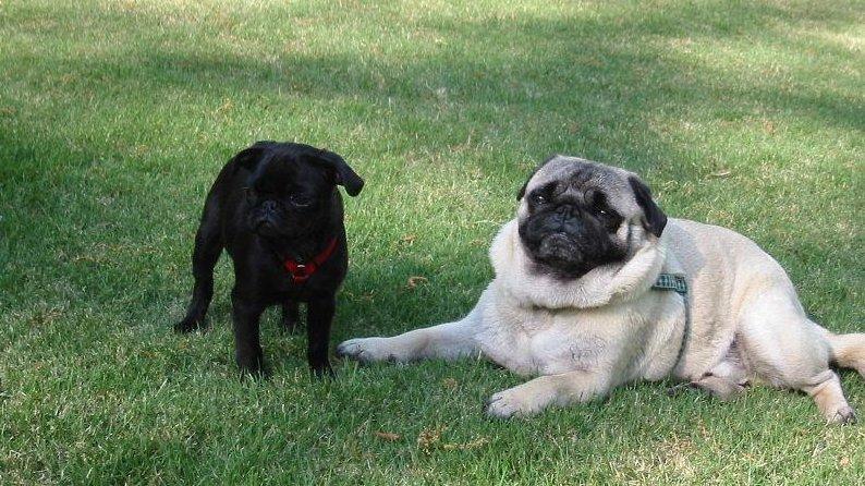 An overweight adult pug hangs out near a black pug puppy. (CC/Pugman)