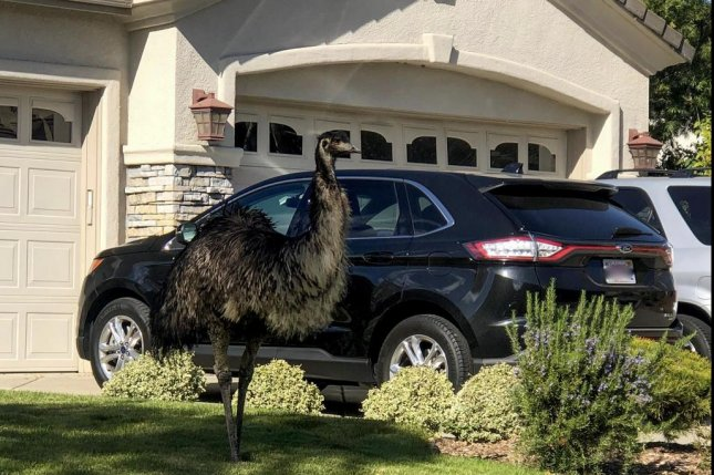 An emu spotted wandering loose through a residential neighborhood in Pleasanton, Calif., was lassoed by an animal services officer and a community services officer who both grew up on farms. Photo courtesy of the Pleasanton Police Department
