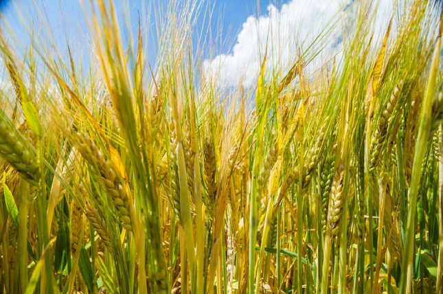 People without celiac disease can experience somewhat similar symptoms if they consume wheat, barley or rye, however the grains' effect on the body is different for patients with non-celiac gluten or wheat sensitivity, according to researchers at Columbia University Medical Center. Photo by Libor Fousek/Shutterstock